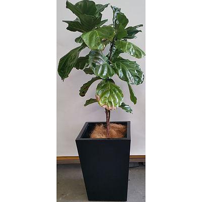 Advanced Fiddle Leaf Fig(Ficus Lyrata) in Fibreglass Planter Box