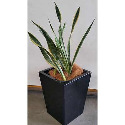Advanced Mother In Law's Tongue(Sansavieria) Indoor Plant With Fibreglass Planter Box