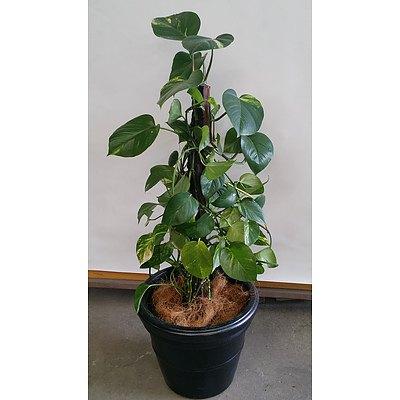 Devils Ivy(Epipremnum Aureum) Indoor Plant in Decorative Plastic Cotta Pot