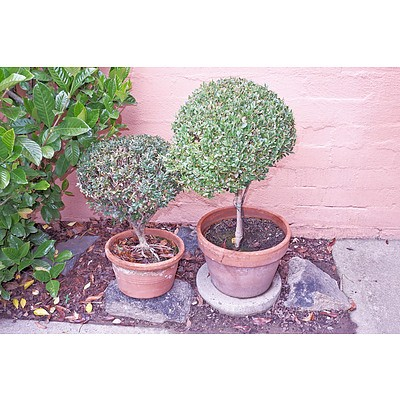 Two Terracotta Potted Buxus Box