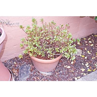 Terracotta Potted, Possibly Azalea