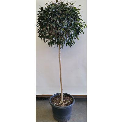 Advanced Emerald Standard Ficus(Ficus Hillii) in Black Plastic Pot
