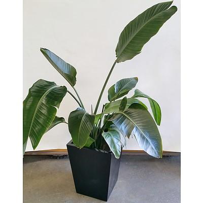Advanced Giant Bird Of Paradise(Strelitzia Nicolai) Indoor Plant With Fiberglass Planter