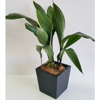 Madonna Lily(Spathiphylum) Desk/Bench Top Indoor Plant With Fiberglass Planter