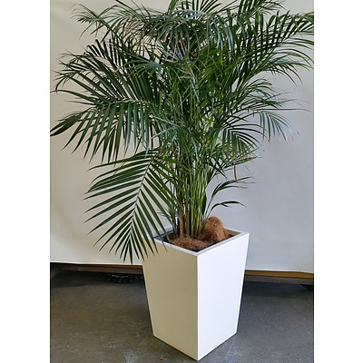 Kentia Palm(Howea Forsteriana) Indoor Plant In Fiberglass Planter