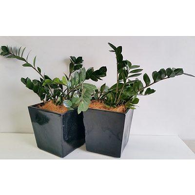 Two Zanzibar Gem(Zamioculus Zalmiofolia) Desk/Bench Top Indoor Plants With Fiberglass Planters