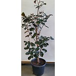 Advanced 175cm Teddy Bear Magnolia Tree(Magnolia Grandiflora) in 40cm Plastic Pot