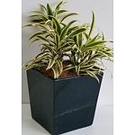 Lemom Lime Dracaena Fragrans Desk/Benchtop Indoor Plant With Fiberglass Planter