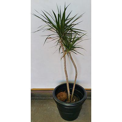 Dragon Plant(Dracaena Draco) Indoor Plant With Black Cotta Pot
