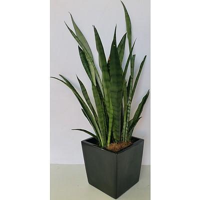 Mother In Law's Tongue(Sansavieria) Desk/Bench Top Indoor Plant With Fiberglass Planter
