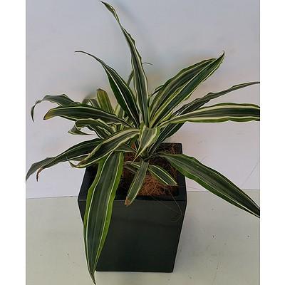 Janet Craig(Dracaena Deremensis) Desk/Bench Top Indoor Plant With Fiberglass Planter