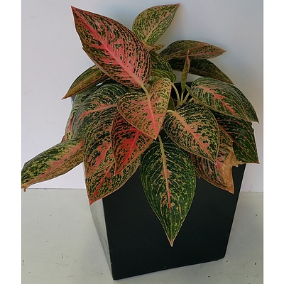 Red Chinese Evergreen(Aglaonema) Desk/Bench Top Indoor Plant With Fiberglass Planter