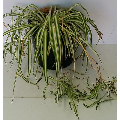 Spider Plant(Chlorophytum Comosum) Desk/Bench Top Indoor Plant With Fiberglass Planter