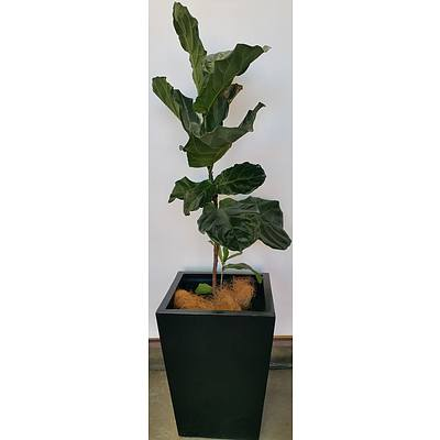 Fiddle Leaf Fig(Ficus Lyrata) Indoor Plant With Fiberglass Planter