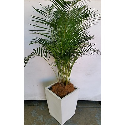 Golden Cane Palm(Dypsis Lutescens) Indoor Plant With Fiberglass Planter