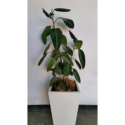 Rubber Plant(Ficus Elastica) Indoor Plant With Fiberglass Planter