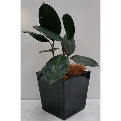 Rubber Plant Desk/Bench Top Indoor Plant With Fiberglass Planter