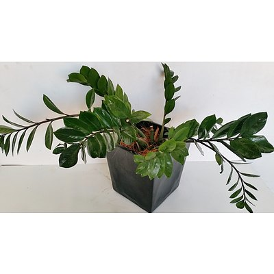 Zanzibar Gem(Zamioculus Zalmiofolia) Desk/Bench Top Indoor Plant With Fiberglass Planter