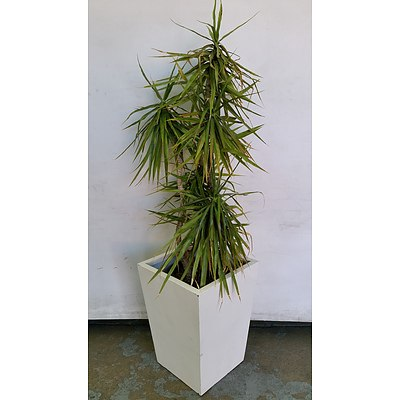 Yucca(Yucca Elephantipes) Indoor Plant With Fibreglass Planter