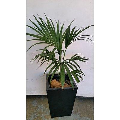 Parlor Palm(Chamaedorea Elegans) Indoor Plant With Fiberglass Planter