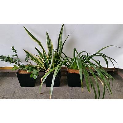 Zanzibar Gem, Mother In Law's Tongue, Brazillian Walking Iris Desk/Bench Top Indoor Plants With Fiberglass Planters