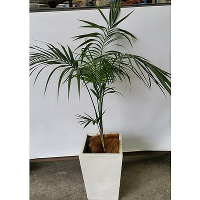 Parlor Palm(Chamaedorea Elegans) Indoor Plant With Fiberglass Planter
