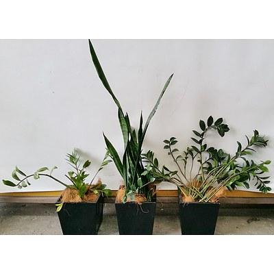 Zanzibar Gem, Mother In Law's Tongue Desk/Bench Top Indoor Plants With Fiberglass Planters