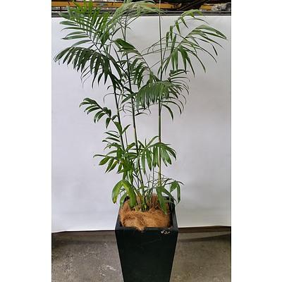 Bamboo Palm(Chamaedorea Seifrizii) Indoor Plant With Fiberglass Planter