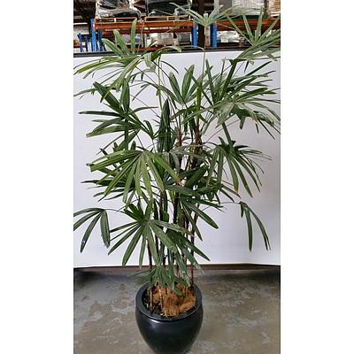 Advanced Rhapis Palm(Rhapis Excelsa) Indoor Plant With Fiberglass Cauldron Planter