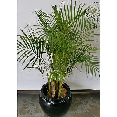 Golden Cane Palm(Dypsis Lutescens) Indoor Plant With Fiberglass Cauldron Planter