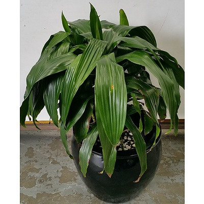 Janet Craig(Dracaena Deremensis) Indoor Plant With Fiberglass Cauldron Planter