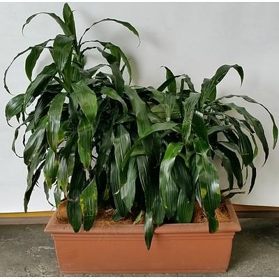 Janet Craig(Dracaena Deremensis) Indoor Plants With Cotta Leak Proof Planter