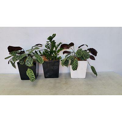 Zanzibar Gem, Calathea Desk/Bench Top Indoor Plants With Fiberglass Planters