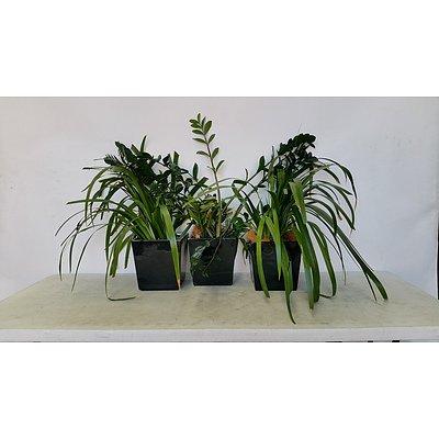 Zanzibar Gem and Brazillian Walking Iris Desk/Bench Top Indoor Plants With Fiberglass Planters