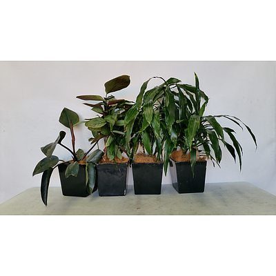 Philodendron Rojo Congo and Janet Craig(Dracaena Deremensis) Desk/Benchtop Indoor Plants With Fiberglass Plantesr