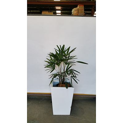 Rhapis Palm(Rhapis Excelsa) Indoor Plant With Fiberglass Planter