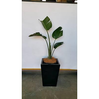 Giant Bird Of Paradise(Strelitzia Nicolai) Indoor Plant With Fibreglass Planter Box