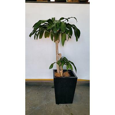 Striped Happy Plant(Dracenea Fragrants Massangeana) Indoor Plant With Fiberglass Planter