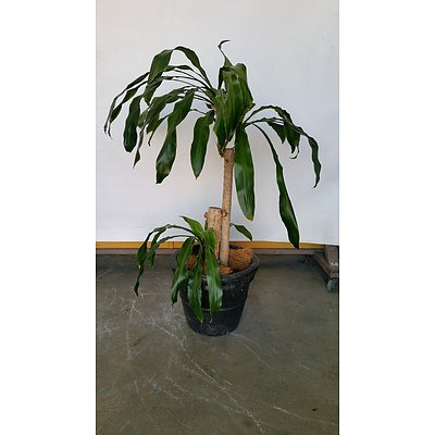 Striped Happy Plant(Dracenea Fragrants Massangeana) Indoor Plant With Fiberglass Planter