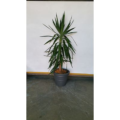 Janet Craig(Dracaena Deremensis) Indoor Plant With Planter