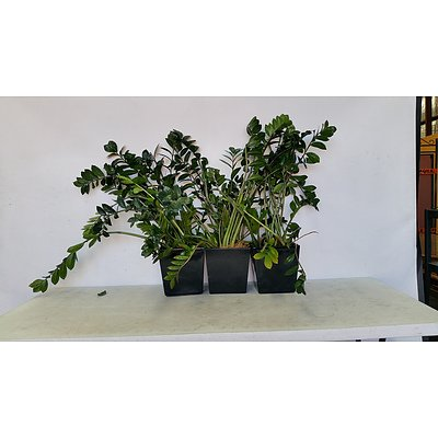 Zanzibar Gem(Zamioculus Zalmiofolia) Indoor Plant With Fiberglass Planter -Lot of Three