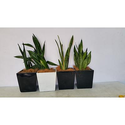 Mother In Law's Tongue(Sansavieria) Indoor Plant With Fiberglass Planter -Lot Of Four