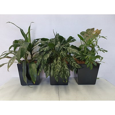 Executive Gloss Fibre Glass Desk Pot Planted with Assorted Species Including Draceana, Aglaonema, & Devils Ivy - Lot of Three Indoor Plants