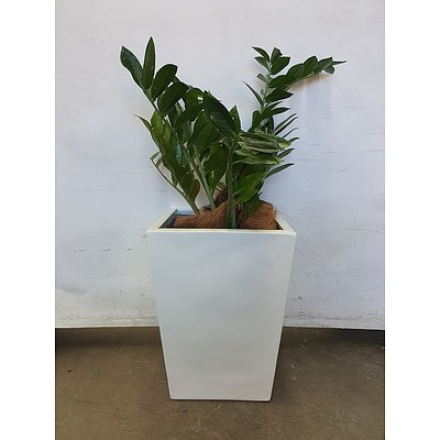 Executive Gloss Fibre Glass Floor Pot Planted with Zanzibar Gem (Zamioculus Zalmiofolia)