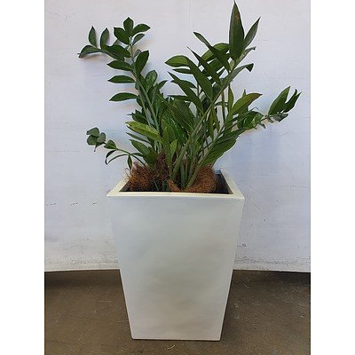 Executive Gloss Fibre Glass Floor Pot Planted with Zanzibar Gem (Zamioculus Zalmiofolia)