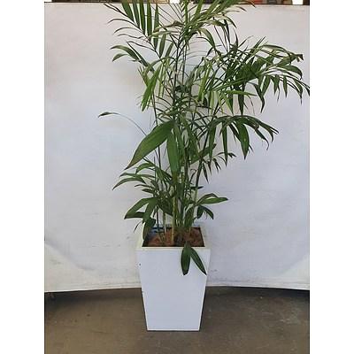 Executive Gloss Fibre Glass Floor Pot Planted with Bamboo Palm (Chamaedorea Seifrizii)