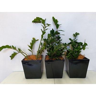 Executive Gloss Fibre Glass Desk Pot Planted with Zanzibar Gem (Zamioculus Zalmiofolia) - Lot of Three Indoor Plants