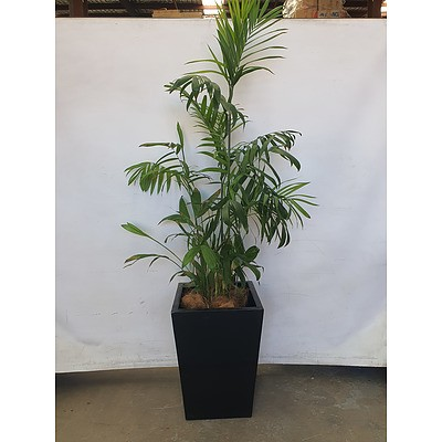 Executive Gloss Fibre Glass Floor Pot Planted with Bamboo Palm (Chamaedorea Seifrizii)