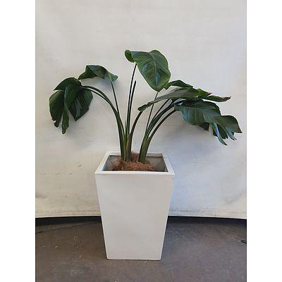 Executive Gloss Fibre Glass Floor Pot Planted with Banana Palm