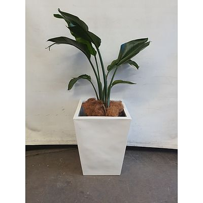 Executive Gloss Fibre Glass Floor Pot Planted with Banana Palm